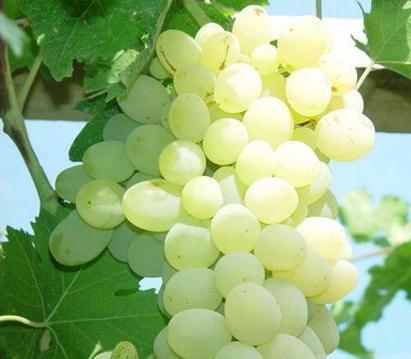 木纳格葡萄